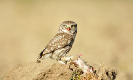 Owl with its prey in the field Stock Images