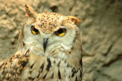 Owl in kuwait. Looking for me (Very sharp photo Royalty Free Stock Image