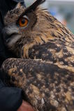 Owl. A large spotted owl with eyes wide open Royalty Free Stock Photo