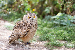 Owl on leash with copy space Royalty Free Stock Image