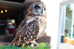 An owl that lives in a cafe. Thailand, Pattaya royalty free stock photos