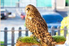 An owl that lives in a cafe. Thailand, Pattaya royalty free stock photography