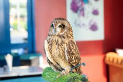 An owl that lives in a cafe. Thailand, Pattaya royalty free stock image