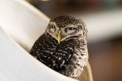 An owl that lives in a jug in a cafe. Thailand, Pattaya royalty free stock photography