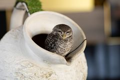 An owl that lives in a jug in a cafe. Thailand, Pattaya royalty free stock photos
