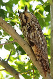 Long-eared owl. Long-eared owl (Asio otus, previously Strix otus) perched in a tree royalty free stock photo