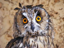 Owl. Long-eared owl after bathing Royalty Free Stock Image