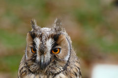 Owl (long-eared) portrait Stock Photo