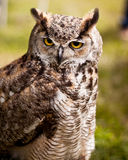 Owl long ears Royalty Free Stock Photo