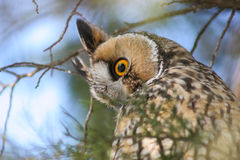 Owl look. A cutting look shot by a little owl Royalty Free Stock Images