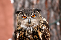 Owl that look at the camera Royalty Free Stock Image