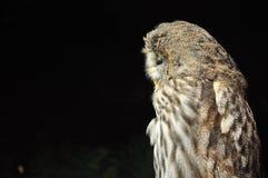 Owl Look Left Photo libre de droits
