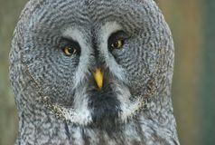 Owl looking. Portrait of an white and grey owl looking straight at you Royalty Free Stock Photos