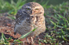 Owl looking ahead Stock Image