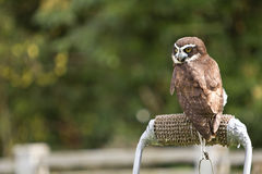 An owl, looking back! Royalty Free Stock Photography