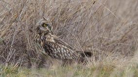 Owl Looking Back met korte oren royalty-vrije stock foto's
