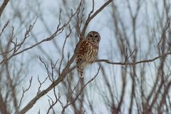 Owl Looking barrado em mim imagem de stock