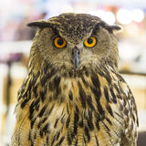 Owl looking. Stock Photography