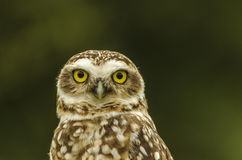 Owl is looking Stock Photos