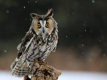 Owl Looking Down de orejas alargadas Foto de archivo libre de regalías