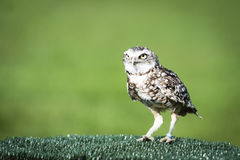 Owl looking for its prey Stock Photography