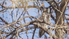 Owl Looking Left dalla faccia bianca nordico immagine stock