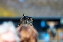 Owl. Looking over the heads of People at a birdshow Royalty Free Stock Image