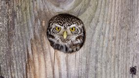 Owl looks out of the hollow stock photography