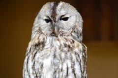 Owl. Menacing owl with huge black eyes, close-up Stock Images