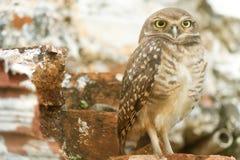 Owl modelo Imagenes de archivo