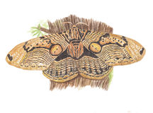 Owl Moth Royalty Free Stock Images