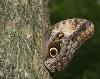 Owl Moth, EL Remate Guatemala photos libres de droits