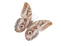 Owl moth flying Stock Photography