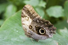 Owl Moth laying egg. The Owl Moth (Caligo Memnon) laying egg Royalty Free Stock Photo