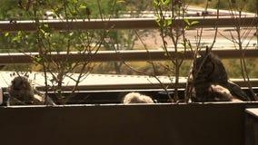 Owl Mother och uggleungar faller sovande på balkong i Arizona stock video