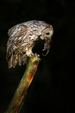 Owl with mouse in bill. Owl in dark night. Tawny Owl with catch animal.. Bird in the nature habitat. Royalty Free Stock Photography