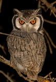 Owl Royalty Free Stock Photos