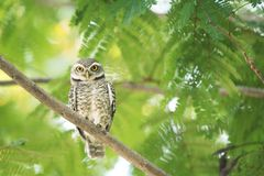 Owl In nature royalty free stock photos