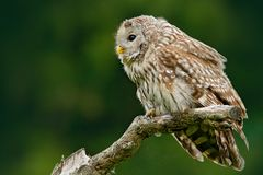 Owl in nature. Ural Owl, Strix uralensis, sitting on tree branch, at green leaves oak forest, Norway. Wildlife scene from nature. Owl in nature. Ural Owl, Strix royalty free stock photo