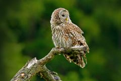 Owl in nature. Ural Owl, Strix uralensis, sitting on tree branch, at green leaves oak forest, Norway. Wildlife scene from nature. royalty free stock photography