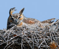 Owl in nest. On topof tree Royalty Free Stock Image