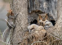 Great Horned Owl nest owlets and a squirrel. A owl nest with owlets watching a gray squirrel taking leaves to its nest, another hole in the tree, only three feet royalty free stock images