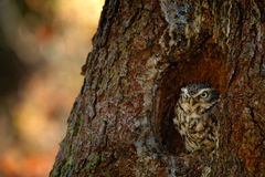 Owl in the nest tree hole. Little Owl, Athene noctua, in the forest in central Europe, portrait of small bird in the nature habita Royalty Free Stock Images