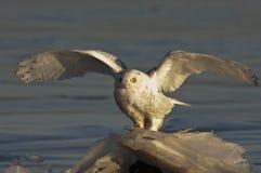 Owl#1 nevado Imagens de Stock Royalty Free