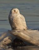 Owl#2 nevado Imagens de Stock