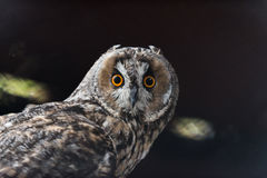 Owl. Nice owl in the dark of the cage Stock Image