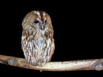Owl in the night Stock Photography