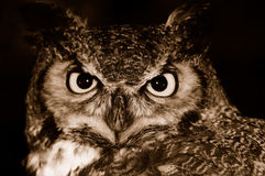 Owl at Night. Great Horned Owl hunting for food Royalty Free Stock Photos