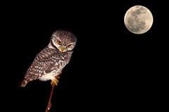 Owl night bird Royalty Free Stock Image