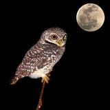 Owl night bird Royalty Free Stock Images